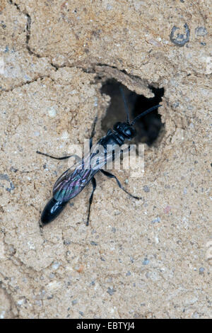 Organ pipe mud dauber, Digger wasp (Trypoxylon spec.), sitting at its nest, Germany - Stock Photo