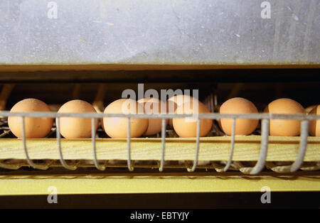 , hen's eggs in laying battery, Germany, - Stock Photo