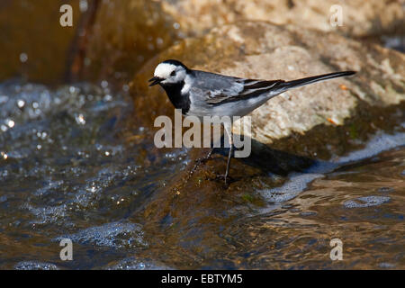 pied wagtail (Motacilla alba), standing in a creek, Germany - Stock Photo