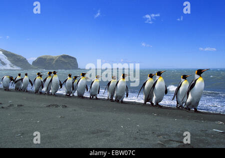 king penguin (Aptenodytes patagonicus), King Penguins lined up, Suedgeorgien - Stock Photo