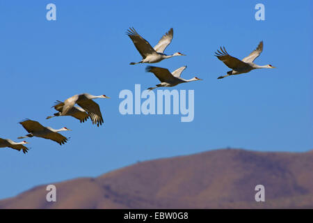 sandhill crane (Grus canadensis), Sandhill Cranes in flight, USA, New Mexico, Bosque del Apache Wildlife Refuge - Stock Photo