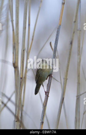 grasshopper warbler (Locustella naevia), in reed, Germany, Rhineland-Palatinate - Stock Photo
