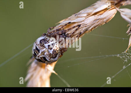 furrow orbweaver (Larinioides cornutus, Araneus cornutus), sitting on a grass ear, Germany - Stock Photo