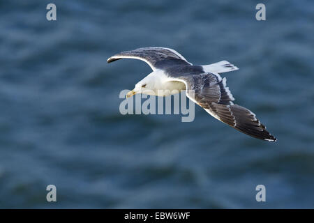 lesser black-backed gull (Larus fuscus), flying over the North Sea, Germany, Schleswig-Holstein, Heligoland - Stock Photo