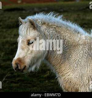 Square picture of a palomino foal head study wet coat in the rain with a white blaze down his face - Stock Photo