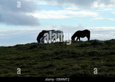 Dartmoor ponies enjoying freedom on the moorland, silhouetted against the blue sky with low clouds - Stock Photo