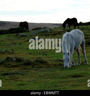 Dartmoor ponies enjoying freedom on the moorland free roaming horses grazing on granite peat moor palomino foal - Stock Photo