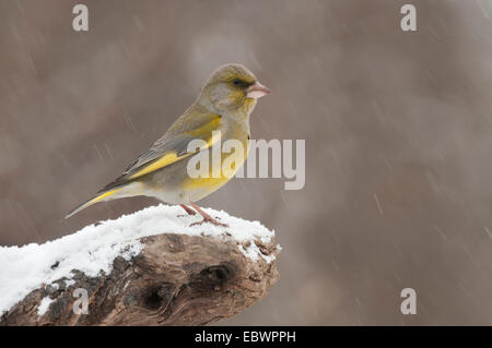Greenfinch (Carduelis chloris), male perched on a tree stump during snowfall, Innsbruck, Tyrol, Austria - Stock Photo
