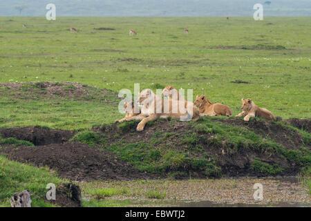 Lioness (Panthera Leo) with her four lion cubs at a waterhole, Massai Mara, Serengeti, Rift Valley province, Kenya - Stock Photo