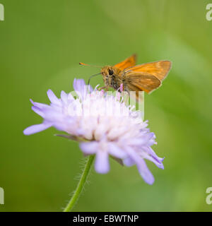 Large Skipper Butterfly (Ochlodes sylvanus, Ochlodes venatus) sucking nectar from a flower of a Field Scabious (Knautia - Stock Photo