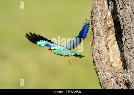 European Roller (Coracias garrulus), flying out from the nesting hole in an old apple tree, Bulgaria - Stock Photo