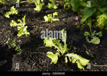 garden lettuce lactuca sativa lettuce growing germany stock photo royalty free image. Black Bedroom Furniture Sets. Home Design Ideas