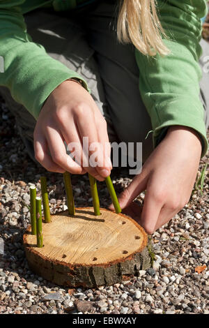 girl building an Easter basket from a tree disc, willow twigs, moss, daisies and coloured eggs; 2. step: putting - Stock Photo