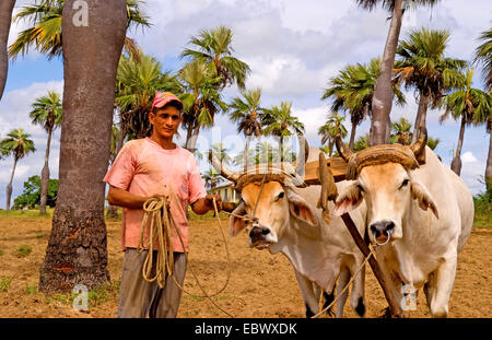 Farmer with oxen in tobacco fields with primitive methods in Sierra del Rosario, Cuba, Sierra del Rosario - Stock Photo