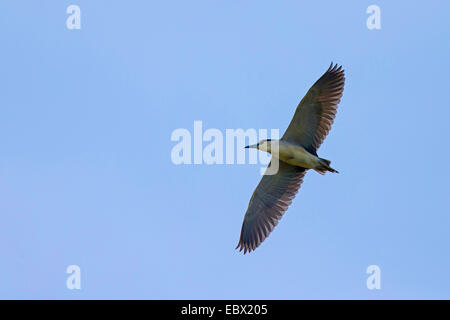 black-crowned night heron (Nycticorax nycticorax), in flight - Stock Photo