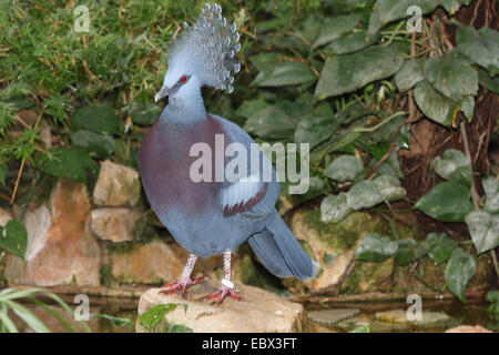 Crowned Pigeon (Columba coronata), sitting on a rock - Stock Photo