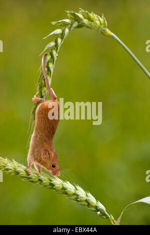 Old World harvest mouse (Micromys minutus), climbing on a wheat ear, Germany, Rhineland-Palatinate - Stock Photo