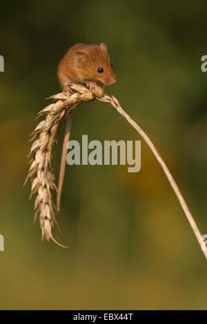 Old World harvest mouse (Micromys minutus), sitting on a ripe grain ear, Germany, Rhineland-Palatinate - Stock Photo