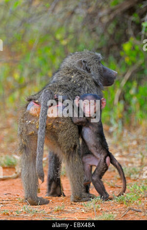 Chacma baboon, anubius baboon, olive baboon (Papio ursinus, Papio cynocephalus ursinus), fearful pup clamps at the - Stock Photo