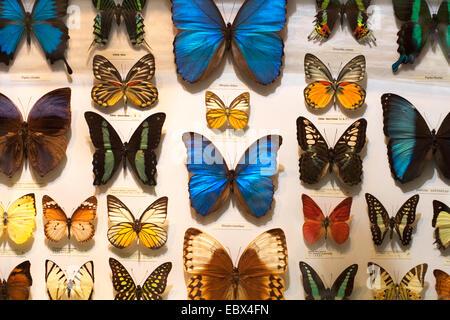 butterflies for sale, Kuala Lumpur Airport, Malaysia - Stock Photo