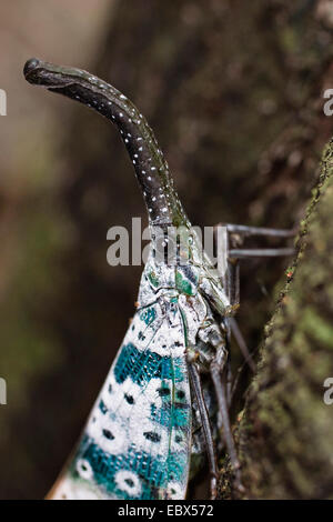 Lantern-bug (Pyrops spec), sitiing at a tree trunk in the rainforest, India, Andaman Islands - Stock Photo