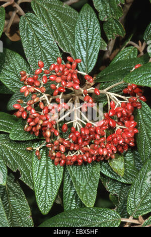 leatherleaf viburnum (Viburnum rhytidophyllum), with fruits - Stock Photo