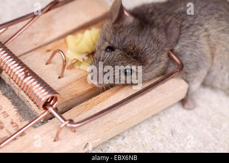 house mouse (Mus musculus), dead mouse in a mousetrap - Stock Photo