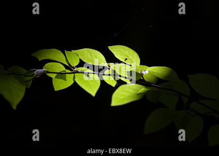 sunbeams on a twig with green leaves lying in darkness, Germany, Brandenburg - Stock Photo
