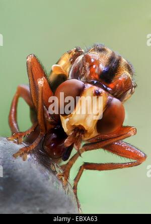 thick-headed flies (Conopidae), portrait, Germany - Stock Photo