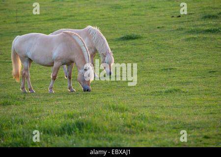 Fjord horse, Norwegian horse (Equus przewalskii f. caballus), two Fjord horses on pasture, Germany, Schleswig-Holstein - Stock Photo