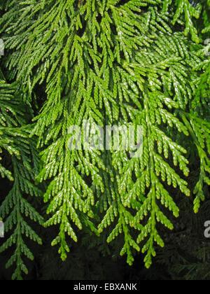 red cedar (Thuja plicata), branches - Stock Photo