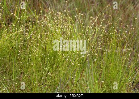 white beak-sedge (Rhynchospora alba), blooming, Germany - Stock Photo