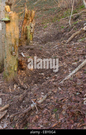 wild boar, pig, wild boar (Sus scrofa), forest ground raked up in search of food, Germany - Stock Photo