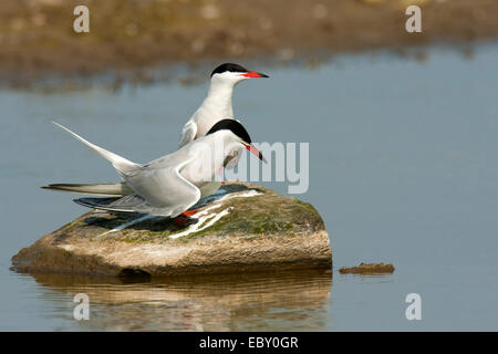 common tern (Sterna hirundo), couple sitting on a stone jutting out of the water, Netherlands, Texel - Stock Photo
