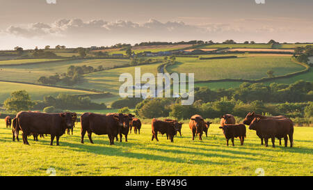 North Devon Red Ruby cattle herd grazing in the rolling countryside, Black Dog, Devon, England. Summer (July) 2014. - Stock Photo