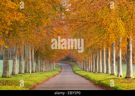 Avenue of colourful trees in autumn, Dorset, England. November 2014. - Stock Photo