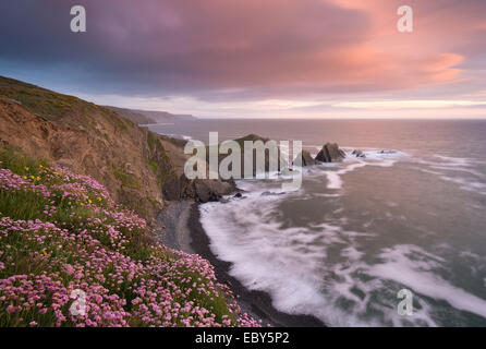 Sea Pink wildflowers flowering on the clifftops at Hartland Quay, looking towards Screda Point, Devon, England. - Stock Photo