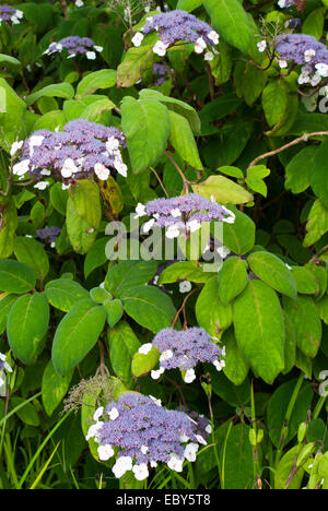 hydrangea aspera 39 macrophylla 39 large leaved scabrous. Black Bedroom Furniture Sets. Home Design Ideas