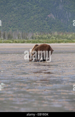 Coastal Brown bear in Chinitna Bay, Kenai Peninsula Borough, Alaska, USA - Stock Photo