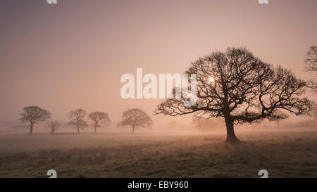 Trees in fog at sunrise, Devon, England. Winter (March) 2014. - Stock Photo