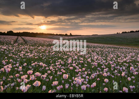 Opium Poppies at sunset, Oxfordshire, England. Summer (June) 2014. - Stock Photo