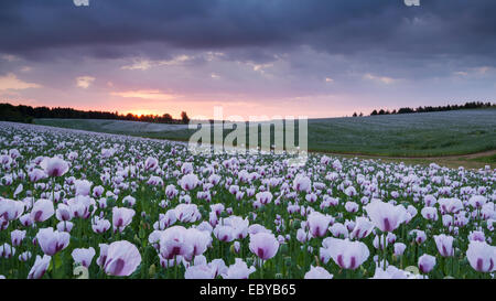 Opium poppyfield at sunset, Chilton, Oxfordshire, England. Summer (June) 2014. - Stock Photo