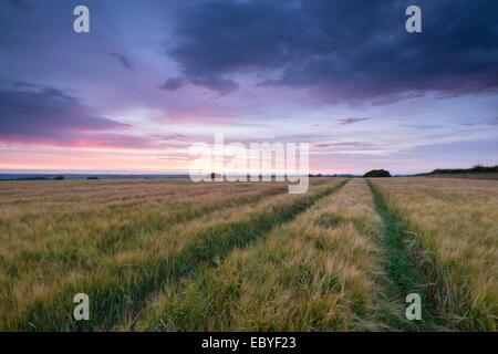 Barley field beneath a summer sunset, Devon, England. Summer (July) 2014. - Stock Photo