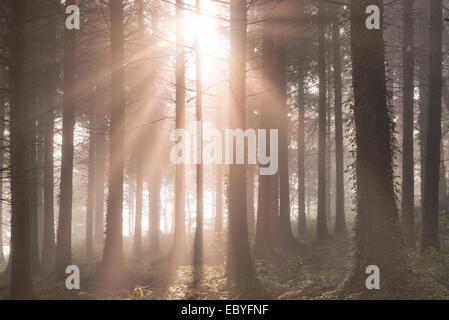 Early morning sunshine streams into a misty pine woodland, Devon, England. Autumn (September) 2014. - Stock Photo