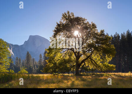 Half Dome and Elm tree in Cooks Meadow, Yosemite Valley, California, USA. Autumn (October) 2014. - Stock Photo