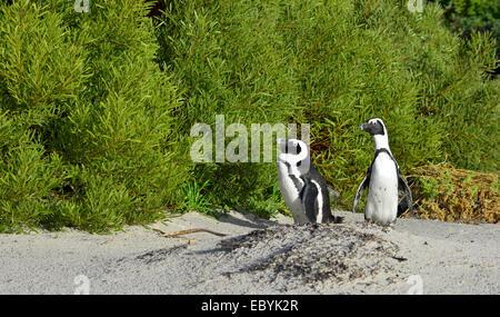 African penguins (spheniscus demersus). - Stock Photo