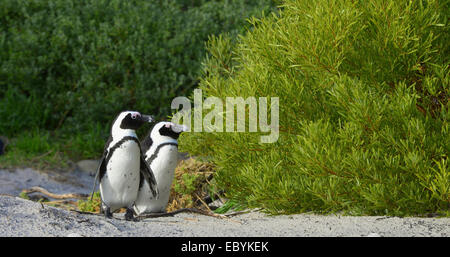 African penguins (spheniscus demersus). South Africa - Stock Photo