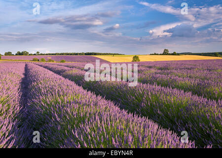 Lavender field in full bloom, Snowshill, Cotswolds, England. Summer (July) 2014. - Stock Photo