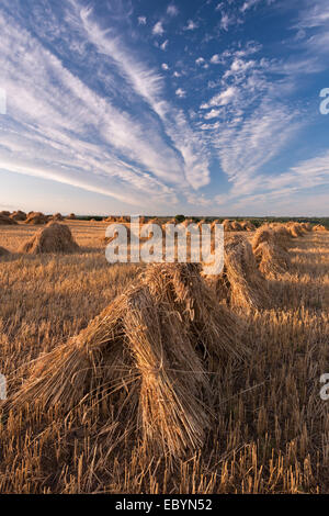 Corn stooks harvested for thatching purposes, Devon, England. Summer (July) 2014. - Stock Photo