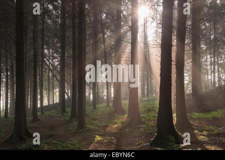 Sun shining through misty pine woodland, Morchard Bishop, Devon, England. September (Autumn) 2014. - Stock Photo